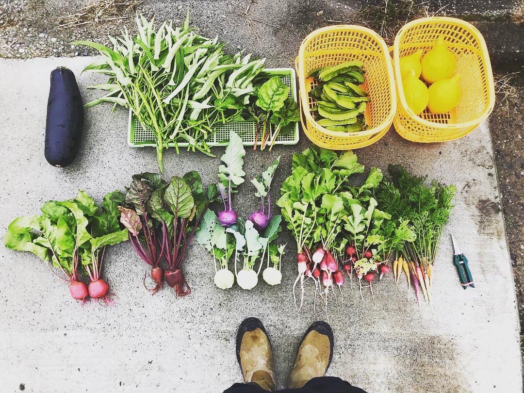 本日は、野菜収穫祭でした♫ 収穫は格別に楽しい!  巨大ズッキーニも無事収穫🙆♂️  #コリンキー #シカクマメ #スイスチャード #空芯菜 #ズッキーニ #スティック人参 #ラディッシュ #ビーツ #ゴルゴ https://t.co/pftK1IocOb