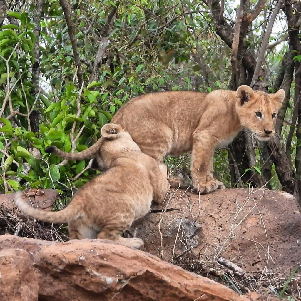 Playful cubs of the Paradise #lion pride #nowfilming #zebraplainsmoments #zebraplainscollection . . . . . #lionsofinstagram #instalion #lionking #lionsofafrica #animalpolis #africanimals #africansafari #kenyansafari #ig_africa #igscwildlife #wildlife_per… https://t.co/FwuUltVViL https://t.co/Ol5f4AF2DT