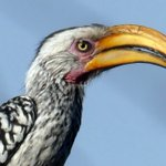 Image for the Tweet beginning: Yellow-billed hornbills feed mainly on