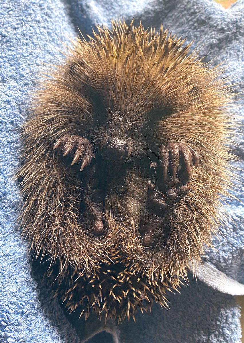 3rd baby in a week. He'll go to a carer to overwinter as far too small to successfully hibernate. These amazing critters are now critically endangered & need all the help they can get. It was great running a workshop with local kids this week to educate them on all things hog!