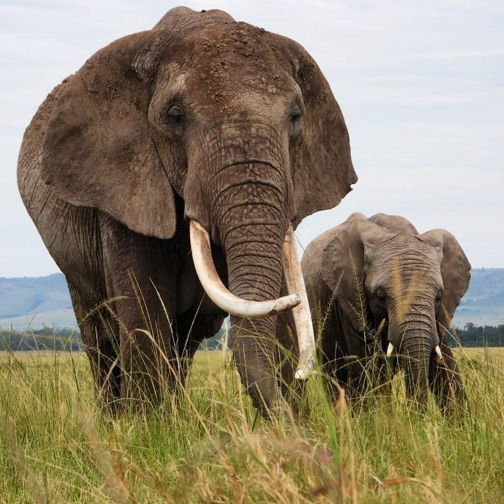 Brilliant sighting of this Tusker #elephant cow #nowfilming #zebraplainsmoments #zebraplainscollection . . . . . #elephantsofinstagram #instaelephant #elephant🐘 #tuskerelephant #animalpolis #africanimals #africansafari #kenyansafari #ig_africa #igscw… https://t.co/SNscJTqbVo https://t.co/5V3MkV9tmH