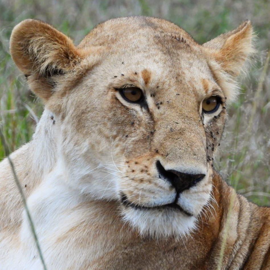 The Enkoyonai #lion pride are scattered around today #nowfilming #zebraplainsmoments #zebraplainscollection . . . . . #lionsofinstagram #instalion #lionking #lionsofafrica #animalpolis #africanimals #africansafari #kenyansafari #ig_africa #igscwildlife #… https://t.co/YQ2zKkIPQL https://t.co/cFdw8IPwbn