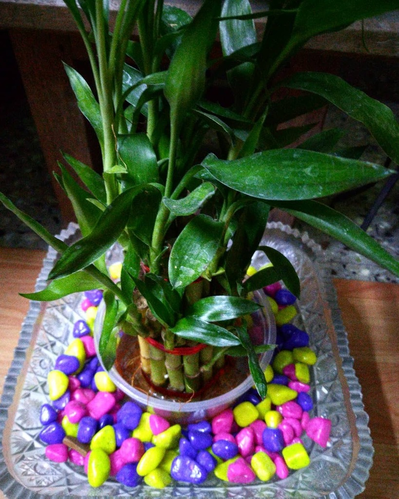 My birthday bamboo plant ❤️ https://t.co/6J4E5vemcn https://t.co/CTpO6fn5eB