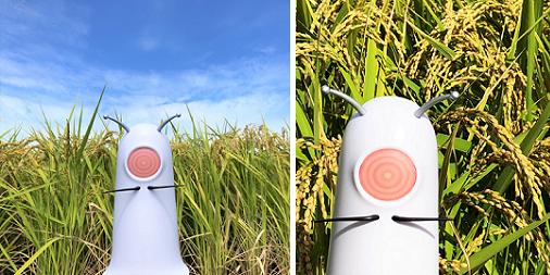 秋ですね~。秋といえば、新米❗😋林原の本社がある岡山でも稲刈りが始まっている。お米にはトレハを使って欲しいの~🍚🍙。おススメじゃ‼️#稲刈り#新米