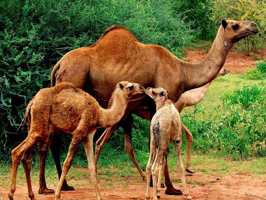camel and his baies  #animalsaddict #wildlifeonearth #igswildlife #wildlife #wildlifetrust #wildlifephotos #wildlifeprotection #ig_africa #majestic_wildlife_ #wildliferefuge #wildlife_supreme #naturephotography #igs_africa #wildlifeplanet #wildlifesafarianimals https://t.co/odlJi5Or4a