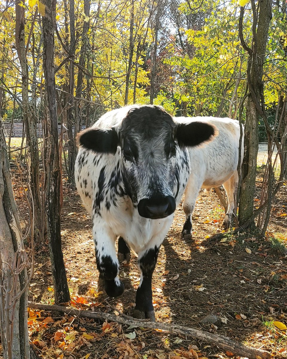 Autumn is the best season. There is nothing you can say to change my mind. The light is perfect, the temperature is perfect, and the animals are fat.   #freerange #knowyourfarmer #eatlocal #roastseason #winteriscoming #cattle #specklepark #steers #ontariobeef #autumn #farming https://t.co/11dCKzBnFC