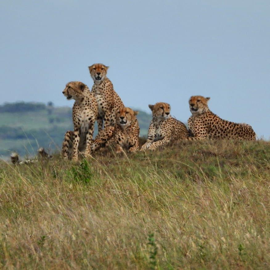 Still with the Tano Bora #cheetah coalition #nowfilming #zebraplainsmoments #zebraplainscollection . . . . . #cheetahsofinstagram #cheetahlicious #cheetahlover #instacheetah #africanamazing #africanimals #africansafari #ig_africa #igscwildlife #wildlife_… https://t.co/6PjpTjycgR https://t.co/gdD6qLa6TJ