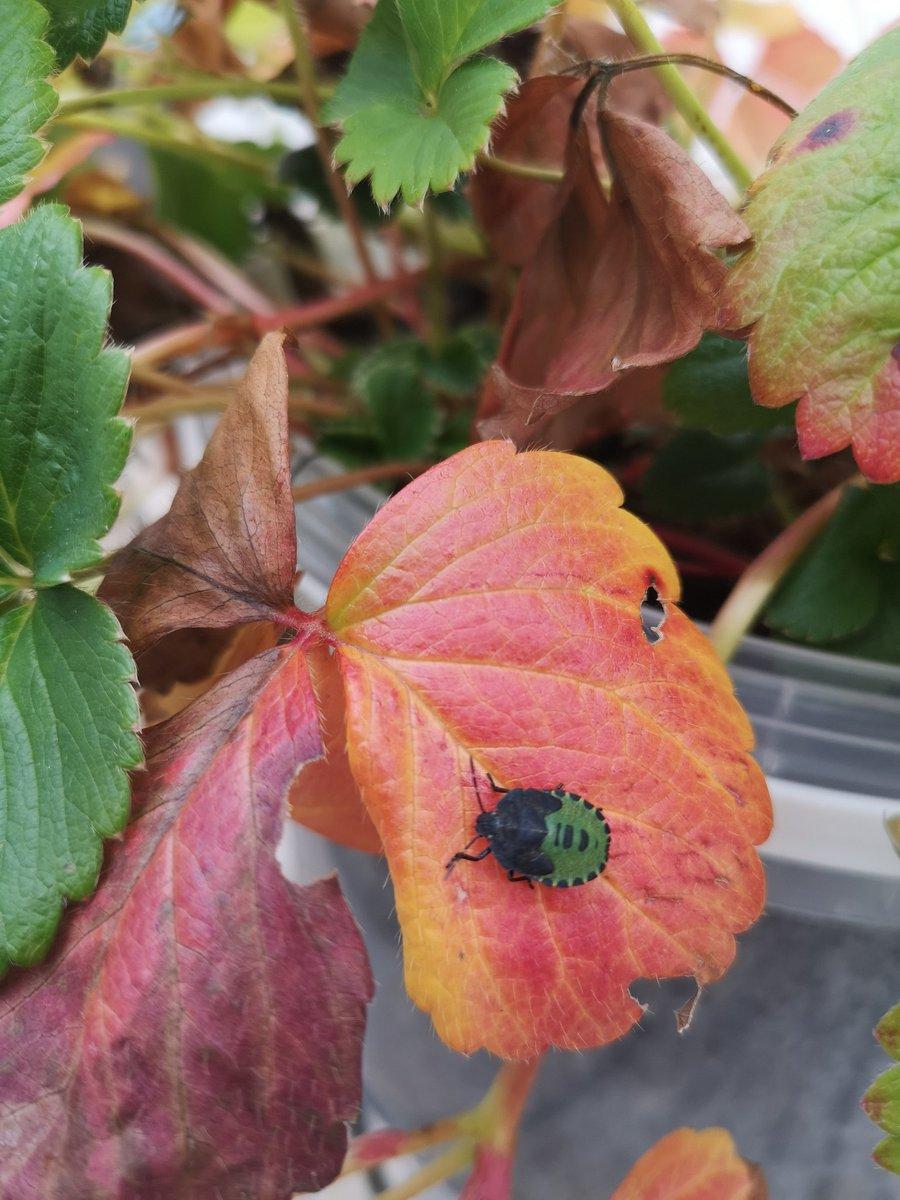 Autumn colours & a gorgeous green shield bug in the garden 🍂🐞😊 #sundayvibes #30dayswild #SundayMotivation @Buzz_dont_tweet @BuglifeNI https://t.co/4BpoS8Oa93