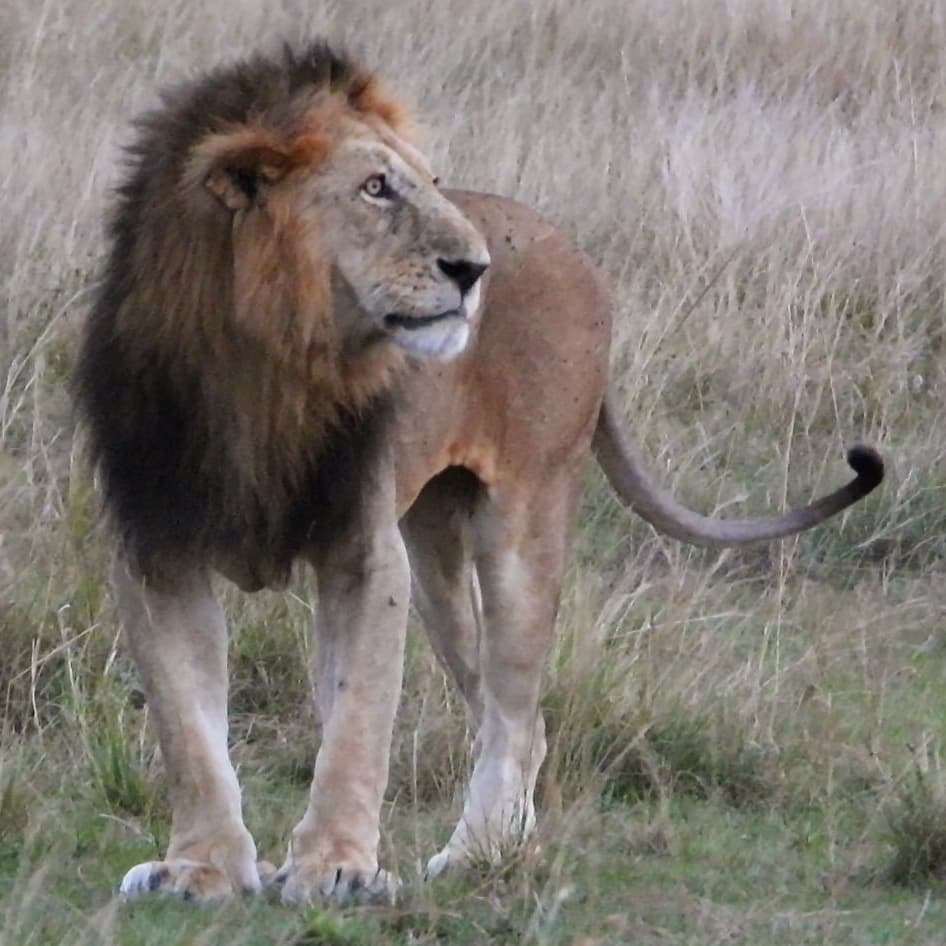 Olbarnoti the #lion #nowfilming #zebraplainsmoments #zebraplainscollection . . . . . #lionsofinstagram #instalion #lionking #lionsofafrica #animalpolis #africanimals #africansafari #kenyansafari #ig_africa #igscwildlife #wildlife_perfection #natgeoyoursh… https://t.co/DyQbuuZNr3 https://t.co/H7xhrbuCki