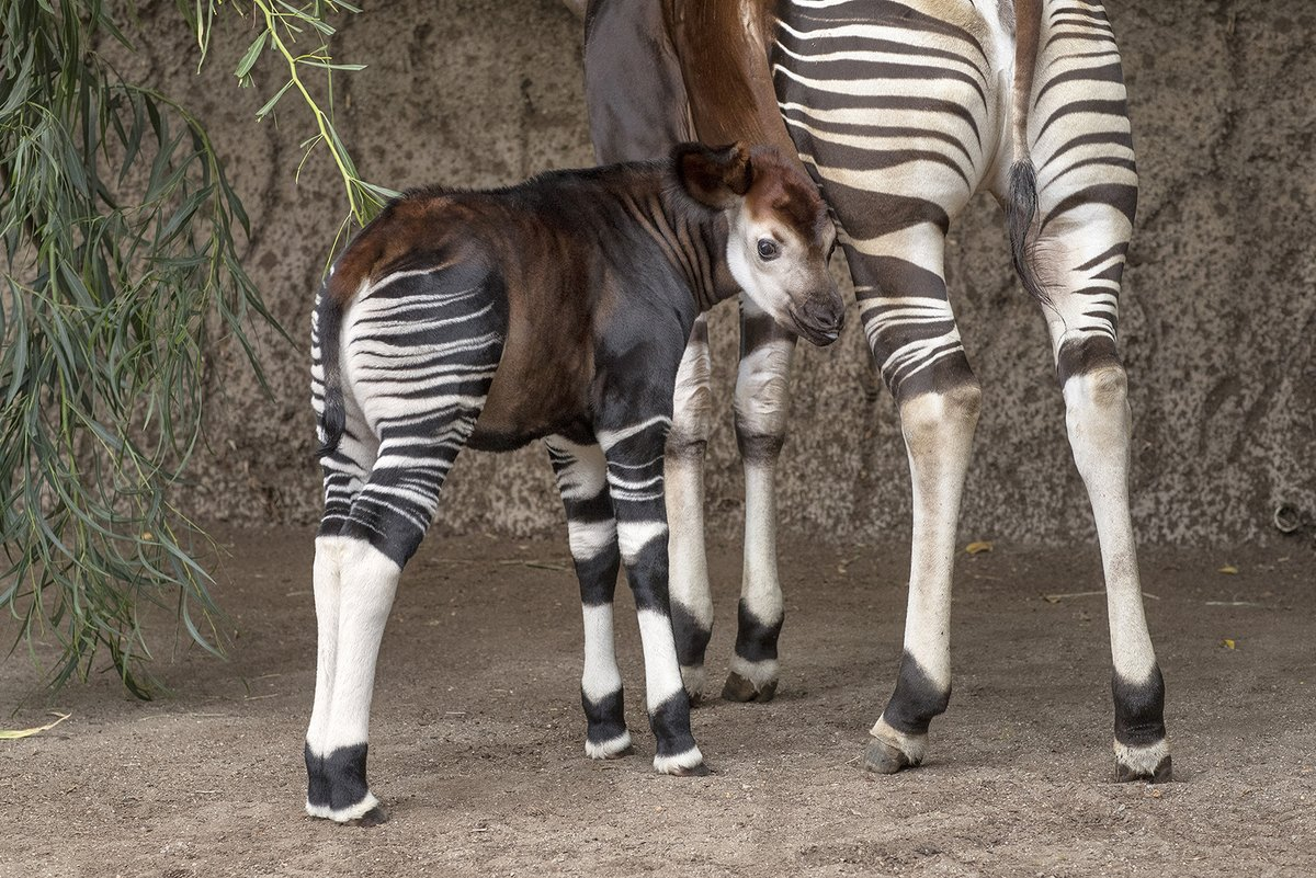 I like striped butts and I cannot lie #WorldOkapiDay https://t.co/HyoGi96Fh9