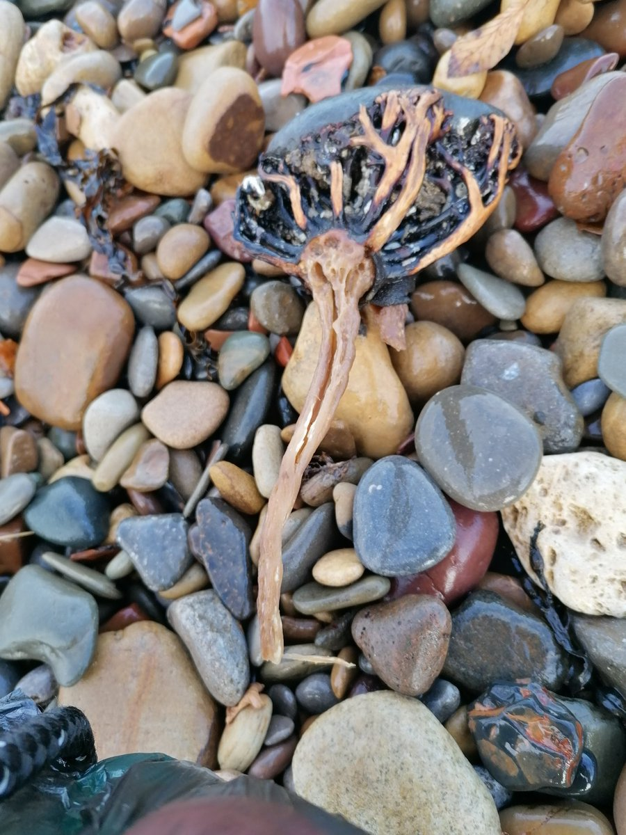 @Natures_Voice Did a #2minutebeachclean at Saltburn with my dog, plastic, paper, cigarettes and this strange rock anenome type thing (didn't clear this up just curious as to what it is) #treechiefs #30dayswild #mickandria https://t.co/8hZ6Ro8HZf
