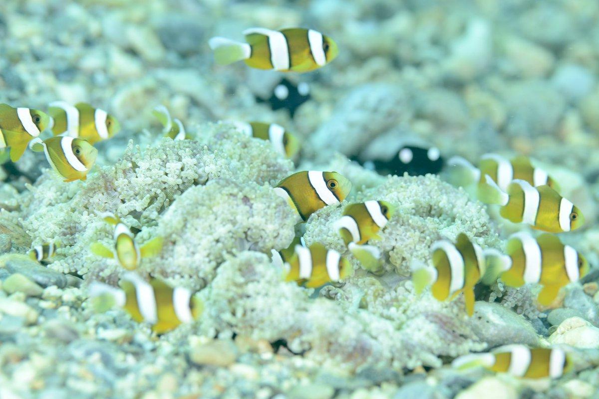 #恩納村 #diving #dive #Ocean #island #Fish #nature #fantastical #無人島 #沖縄本島 #ダイビング #ダイビング好きな人と繋がりたい #沖縄 #海 #水中写真  #🌞#ファインダー越しの私の世界 #olympus #Nikon #真栄田岬 #青の洞窟 #クマノミパラダイス #D800 #水中フォト #旅行 #旅 #癒し https://t.co/yWqV4xDUaB