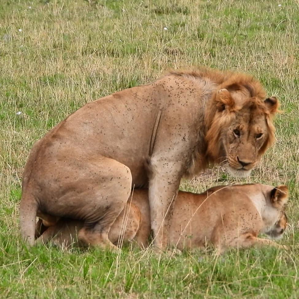 Mating #lion pair #nowfilming #zebraplainsmoments #zebraplainscollection . . . . . #lionking #lionsofinstagram #instalion #lionsofafrica #animalpolis #africanimals #africansafari #kenyansafari #ig_africa #igscwildlife #wildlife_perfection #natgeoyourshot… https://t.co/gQlqu61P9t https://t.co/4HK8G6Q7Gq