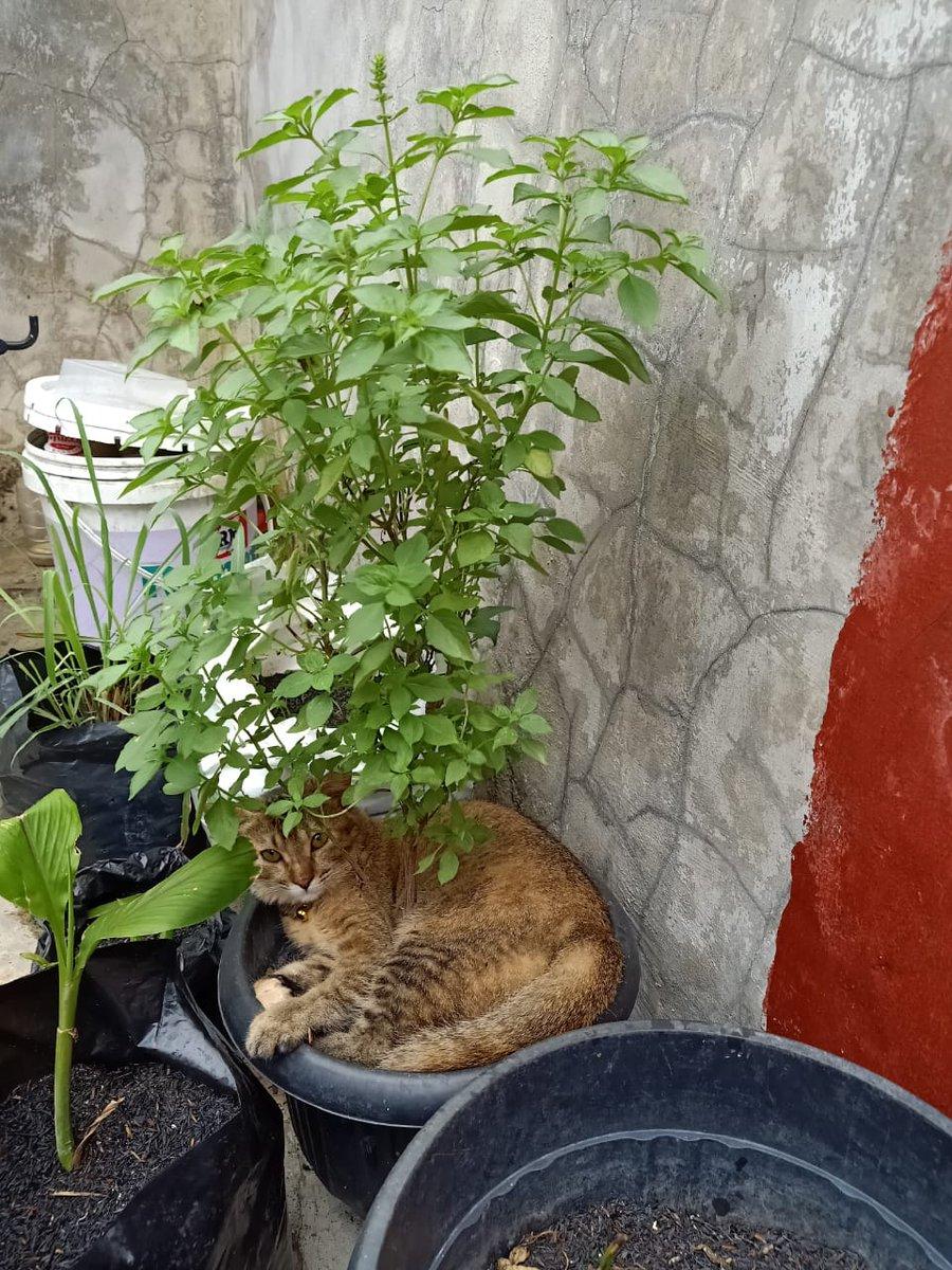 Syahar Banu On Twitter Dear Netizen Pecinta Kucing Tanaman Kami Beberapa Kali Rusak Karena Kena Pup Dan Dijadiin Tempat Bobo Gini Sama Kucing Tetangga Cara Yang Berperikucingan Supaya Dia Berhenti Rusak Tanaman