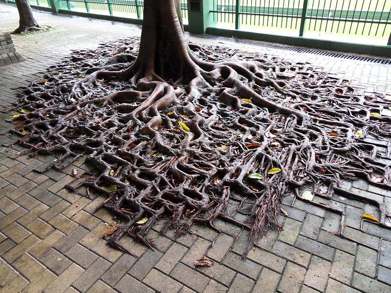 Las raíces de este árbol en Hong Kong, fotografiado por Clément Bucco-Lechat en 2010, han crecido sobre los adoquines y parecen seguir los patrones en los que se colocaron los adoquines #curiosidades #naturaleza https://t.co/y3j6sE263X