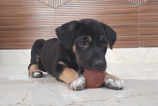Velvet, 40 day old indie puppy for adoption in #Delhi dogwithblog.in/emergency-anim… To adopt, please contact 🤙Srishti 9818575258, 📧harry3797@gmail.com Please RT!