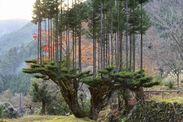台杉(だいすぎ)という。手のひらを広げたような台となる木の上に「立ち木」が垂直に伸びる。 森林が狭かった京都・北山で苗不足を解決するため、室町時代中期に考え出された。