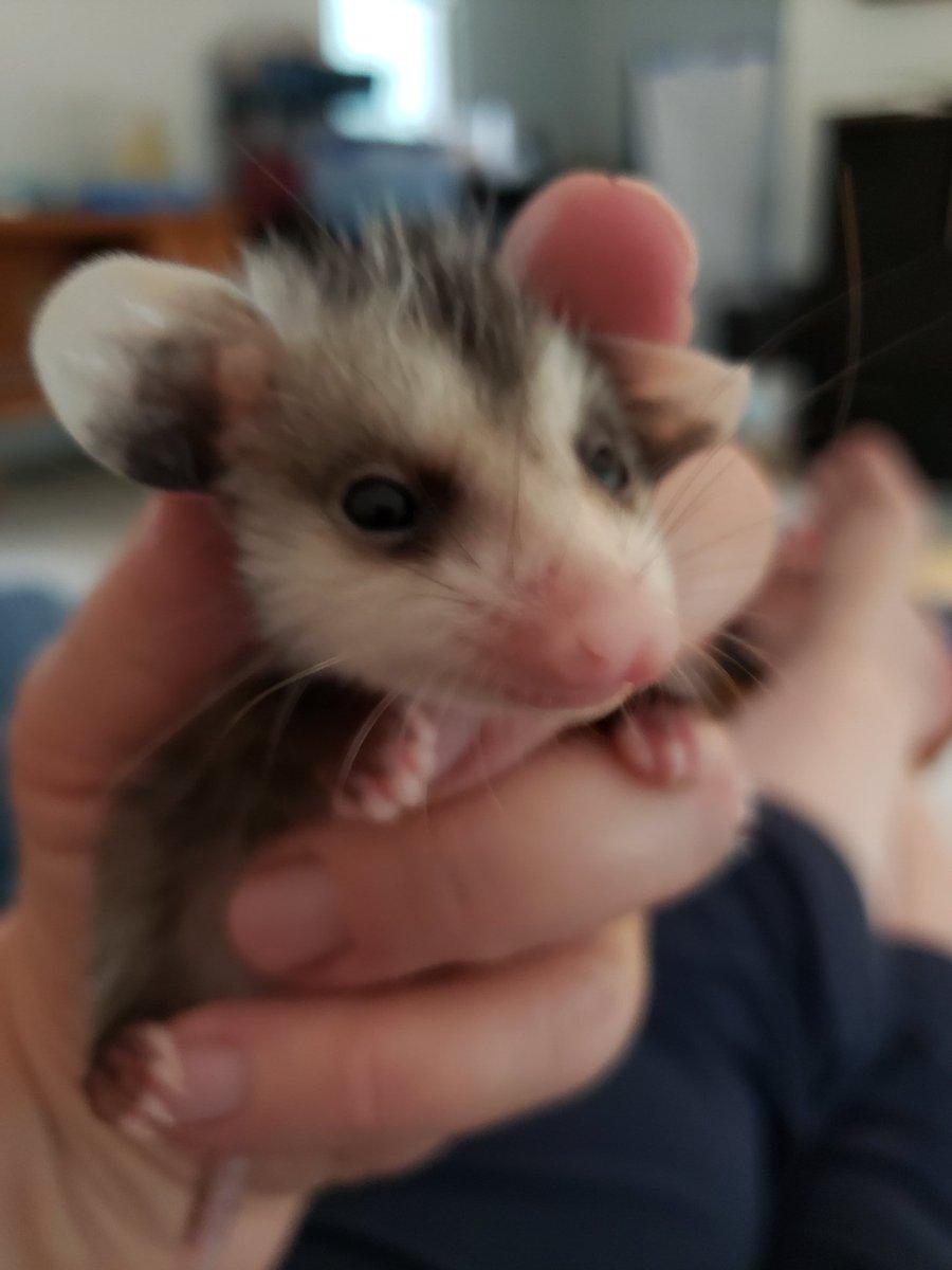 Possum Every Hour (@PossumEveryHour) on Twitter photo 2020-10-19 13:00:51