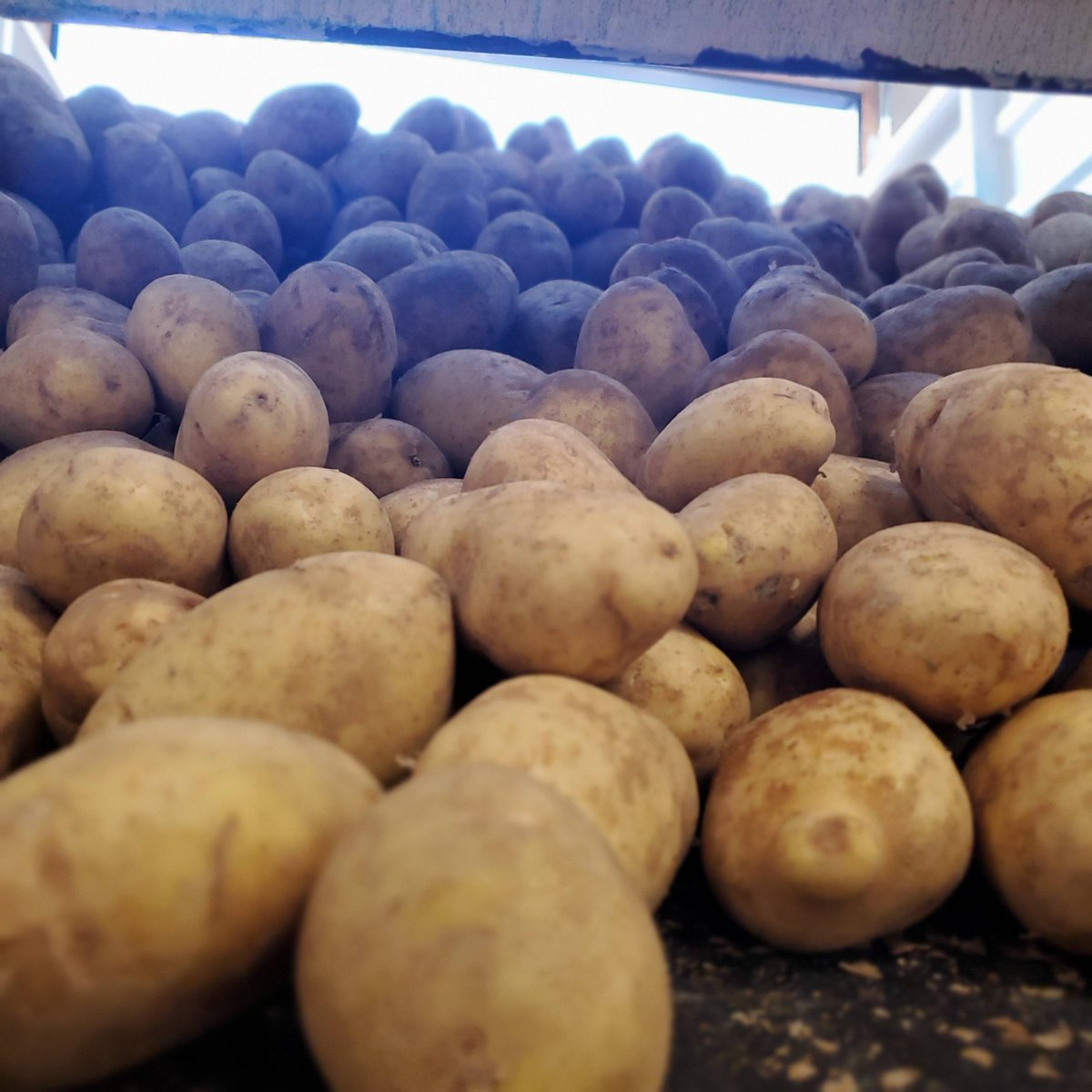 We are another week into potato processing. Did you know that we can go from whole raw potato to vodka in 10 days? And each bottle is roughly 12 pounds of potatoes?  #dryhillsdistillery #montanapotatovodka #knowyourfarmer #knowyourspirits #wegrowgoodtimes https://t.co/p7Izzdg5it