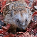 Image for the Tweet beginning: Hedgehogs are busy preparing for