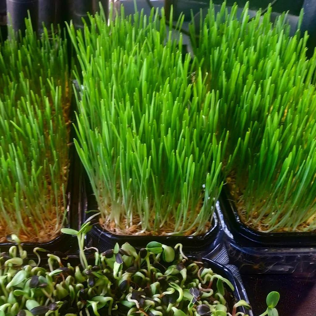 Get your greens on.  Hydroponic #microgreens.  #knowyourfarmer#greens#farmtotable#urbangardening#one#vegan ownfood#freshfood#grow#urbanfarming#urbanfarmer#hydroponic #Hydroponics  #aeroponics  #TelAviv #תלאביב #vegan #urbanfarming  #superfood … https://t.co/f8NZCVuzXp https://t.co/gSH12rMyWh
