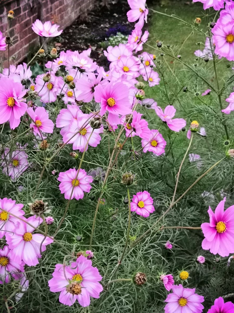 TW1 & TW2 17/10/2020 More late disies Mass of Cosmos bipinnatus - variety unknown? Pic 2 the Erigeron karvinskianus hybrid LAVENDER LADY - goes with what else I have here but I prefer ordinary species type. Pic 3 Erigeron glaucus DWARF From D'Arcy & Everest @ RHS London Show https://t.co/iuwtGoKPcK