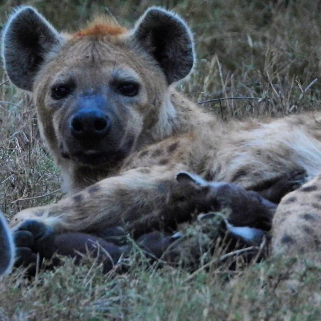 Tiny cubs at the #hyena den close to the camp #nowfilming #zebraplainsmoments #zebraplainscollection . . . . . #hyenasofinstagram #instahyena #hyenalaugh #lovehyenas #africanamazing #africanimals #africansafari #ig_africa #igscwildlife #wildlife_perfecti… https://t.co/WHUSf2gmcc https://t.co/EX3XsrJQou