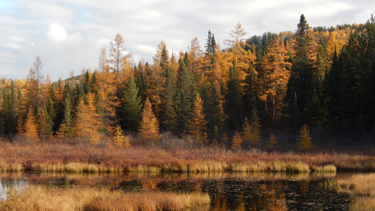 Have you heard of the Golden Encore?  Tamaracks are the beautiful golden-yellow coniferous tree you might spot along Highway 60 or the trails in the late fall.   For more information visit: https://t.co/01iGlidf6B https://t.co/TexOmb5ZDv