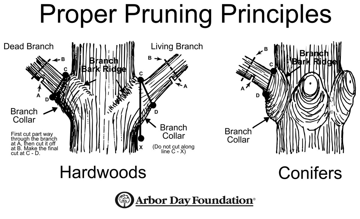 Great graphic about how to prune dead branches on trees, thanks for sharing @WatershedsCAN @arborday   👏🌿