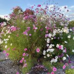 Image for the Tweet beginning: I scattered wildflower seeds around