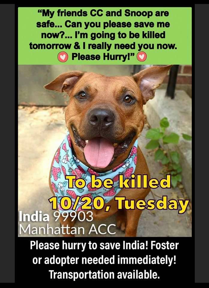 💕India💕 💉💉Tomorrow 10/20 Noon Please do not forget this incredible girl I am so happy for CC & Snoop but We neglected this gorgeous girl We have 14 Hours to save her😱 Soft Gentle Loving & Playful #Pledge #Share #Rescue  #Foster Live in NE https://t.co/jLaQk5E2VW https://t.co/apXUEK7yCz