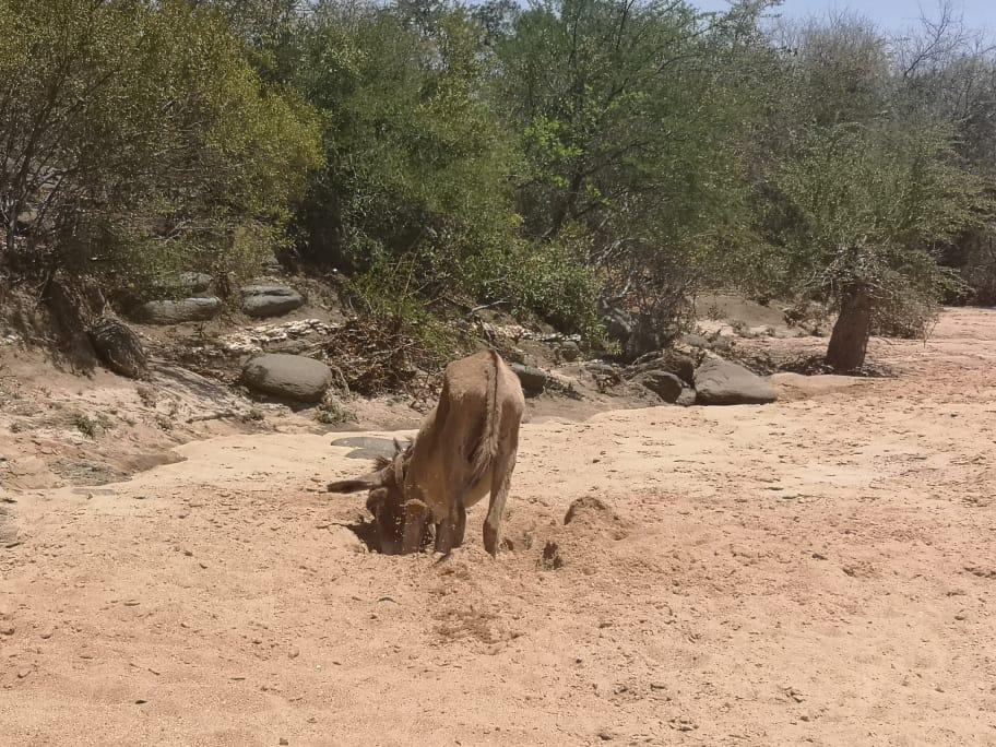 #copingmechanisms Took this shot of a donkey digging for water in Ngamela river, Madabe ward 3 in Mangwe District, Matebeleland South and it got published by Southern Eye on Monday. @CdeMupakati @Mavhure @alickmacheso3 @DyangwePrincess @drtmazu @IdeasZaka @EsteemCommunic1