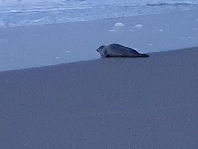 Tijdens een strandwandeling maandagavond lag deze zeehond bij de vloedlijn. Foto 's Anneke v/d Beukel. https://t.co/ciYGQOMKGh
