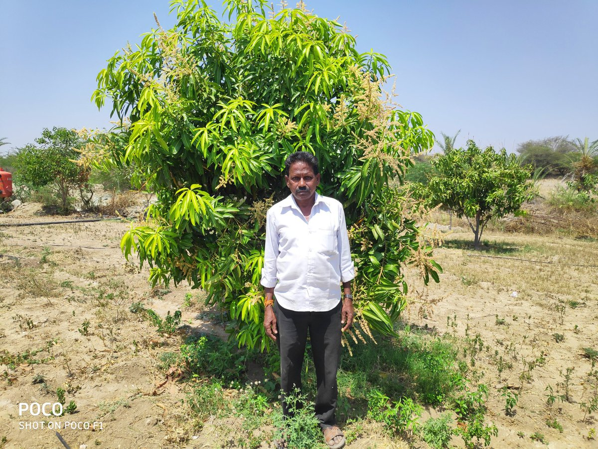 Meet Eshwariah of Kadiri village (Anantapur district) grows crops and various vegetables on his land to meet his family's daily needs. In 2015 we planted 650 mango saplings under the Agroforestry project on his land. He sold 1.5 tons of mango in the year 2018,  & 6 tons in  2019 https://t.co/TUCEya94Zx