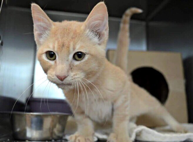 🆘BEYOND URGENT🆘 Super sweet ZAK is trapped at a #GASSING #SHELTER and fast running out of time💔 He needs IMMEDIATE HELP‼️ PLEASE DON'T LET THEM KILL HIM🙏🏻 #RT #PLEDGE #FOSTER #ADOPT - everything you can do to #HELP✔️ #cats #kittens #rescue #Lindon #UT RT@rburt4cats https://t.co/AYhfAjNNyC https://t.co/H2BJx1QdaE
