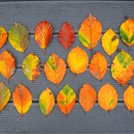 Image for the Tweet beginning: Autumn beech leaves. Colours of
