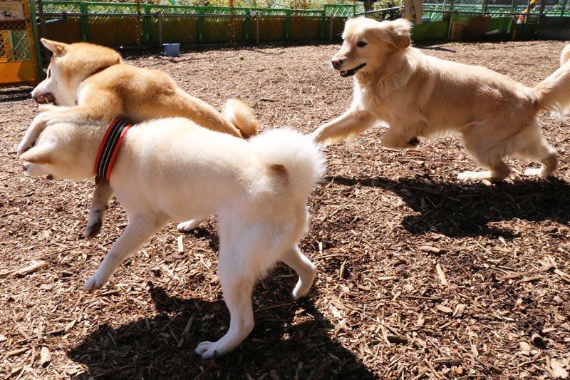 友犬の訃報を聞いてズーンと来ている。ランで揉め事があると駆けつけてぶっ飛ばしてくれる最高のパイセンだった