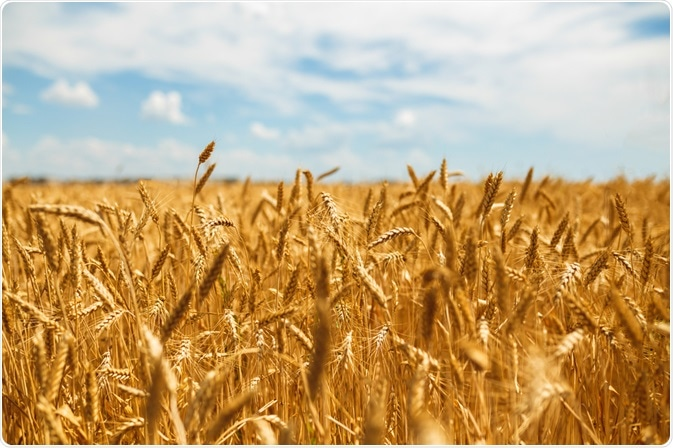 Effect of Light on Wheat Plants #wheat #crop #agriculture #plants #light https://t.co/UJirpfw2Ho https://t.co/sf4zYVrnA0