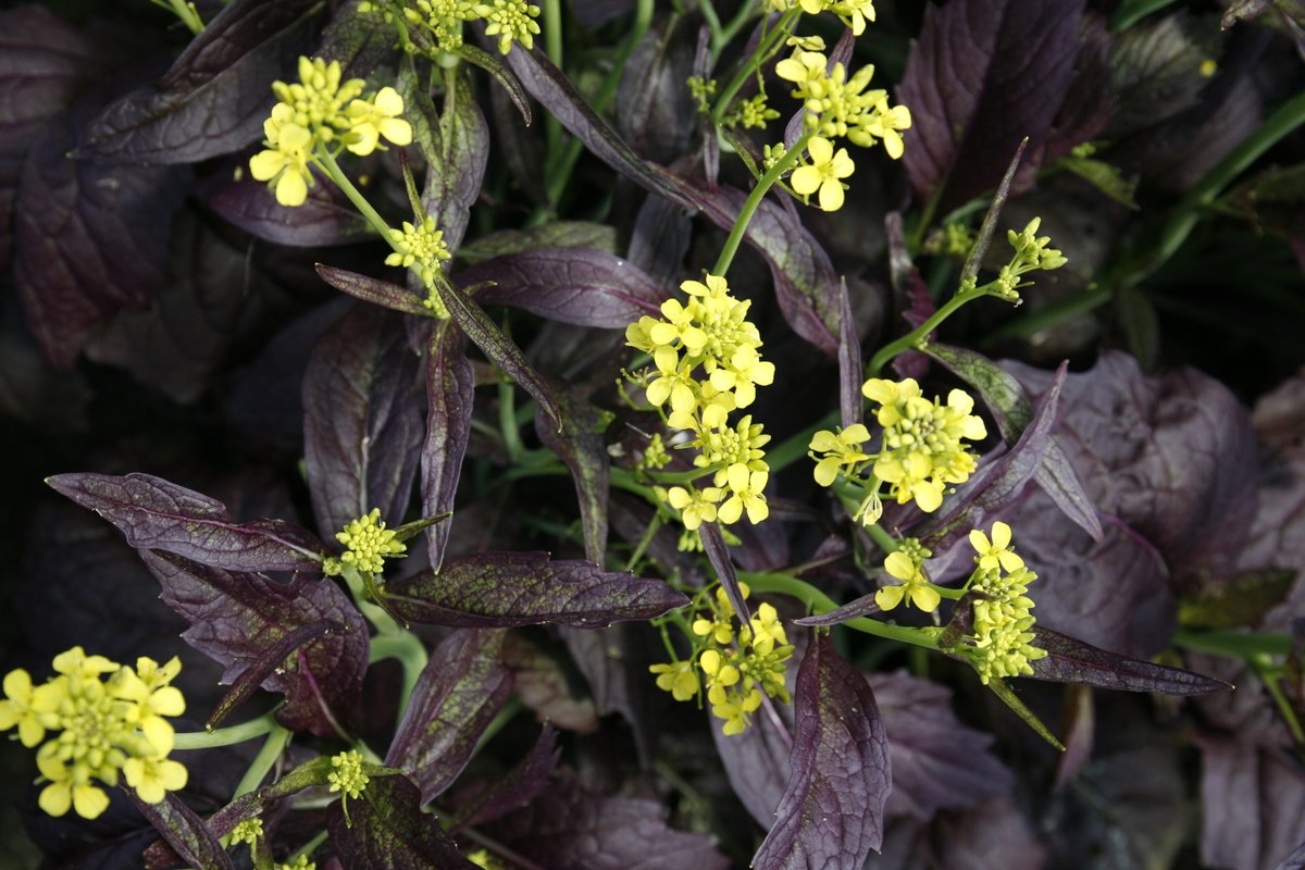 This popular fall #crop produces gorgeous, yellow #flowers atop vibrant, maroon leaves. While grown as a #salad leaf when #harvested at the baby leaf stage, and as a braising green at full size, bolting plants produce stunning, yellow flowers that are also #edible and spicy. https://t.co/MmrSewOmZU