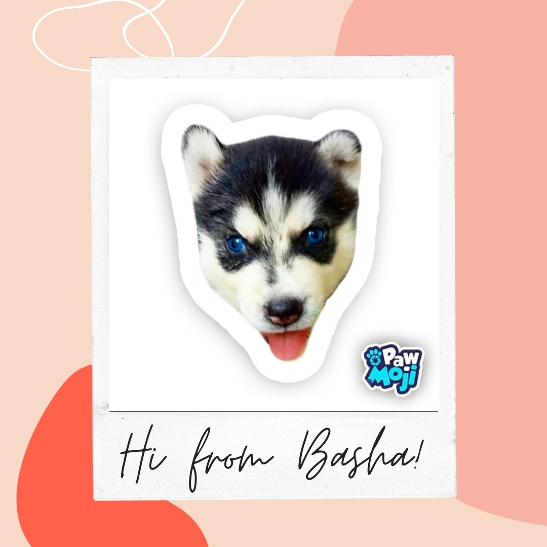 Happy Tuesday from Basha, our Husky Puppy! https://t.co/BL2OKzkfKx   #dog #instadog #cute #animals #husky #siberianhusky  #huskylove #dogrescue #doggies https://t.co/V9u0DCuWbe