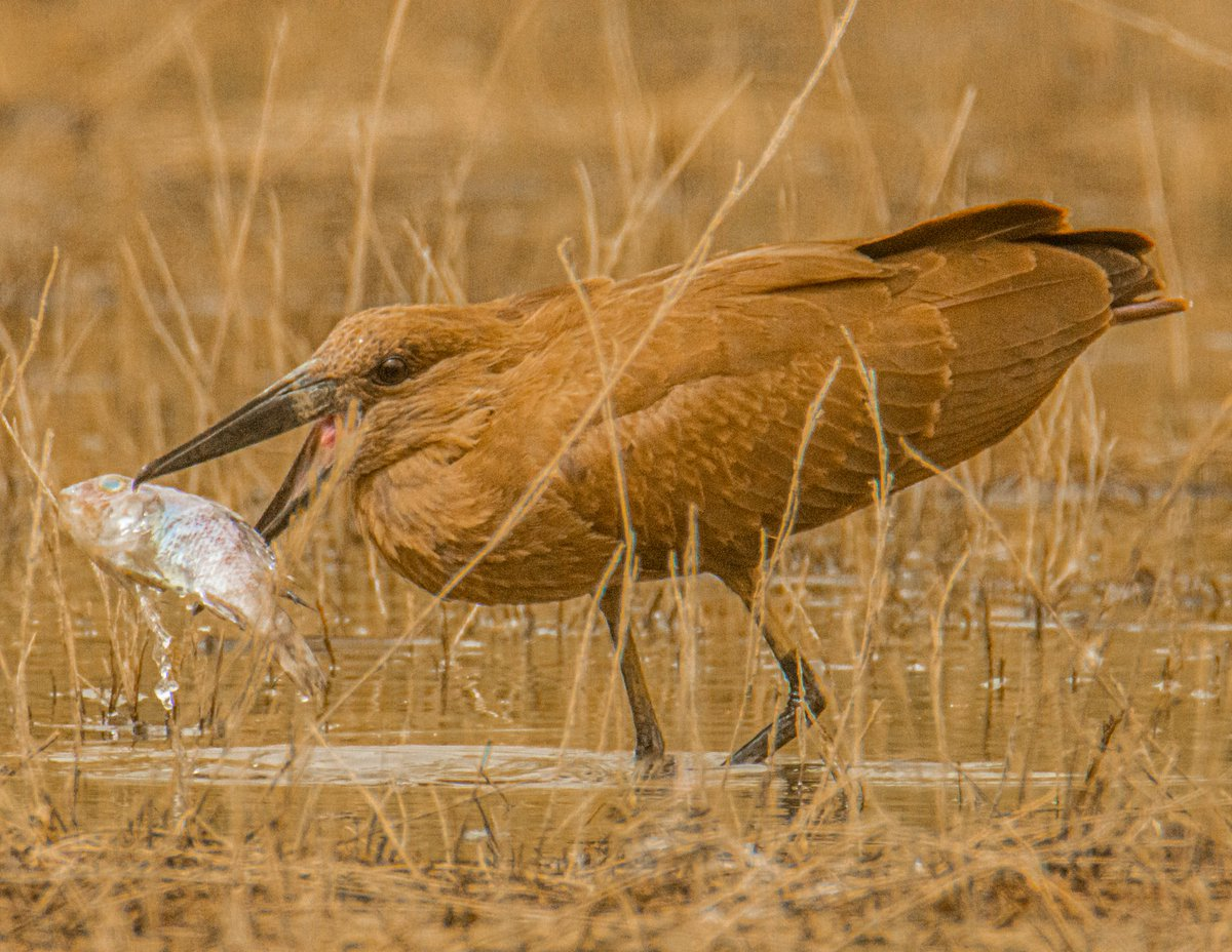 Hamerkop Arabic: رأس المطرقة  Location: #Jizan #Jazan Region #SaudiArabia الموقع: منطقة #جيزان #جازان #السعودية  #المعلومات #المصورين #المصورين #الصور #عدستي #birds #birding #wildlife #nature #roadtrip #travel #beauty #photo #photooftheday #ksa @tswir @SaudiMagazine @IASArabia https://t.co/4salPYqdqG
