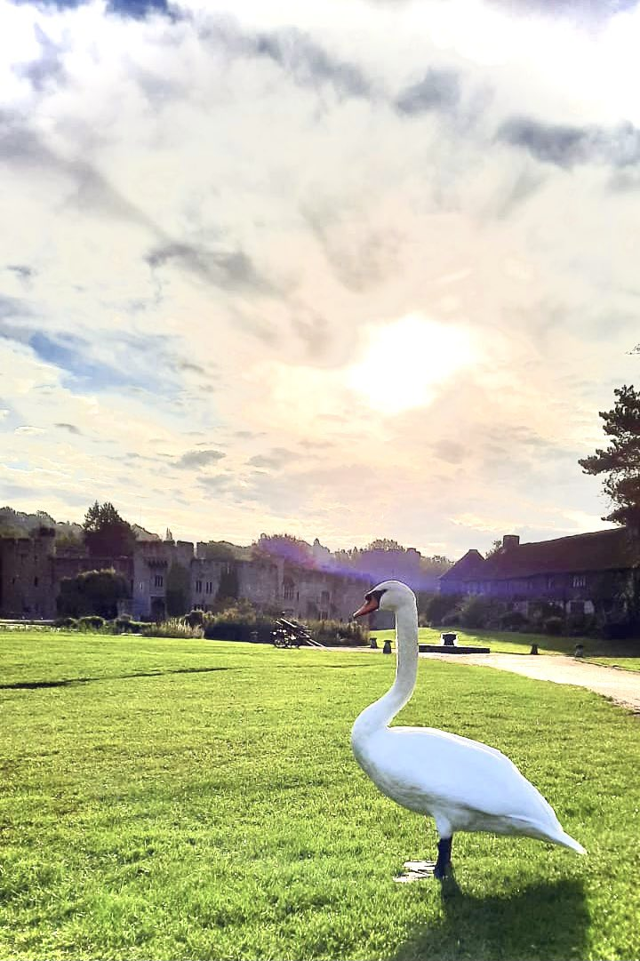 Look who we bumped into on our morning stroll... definitely not your usual stomping ground George! #swan #castlelife #AllingtonCastleEstate #birds #birdwatching #residentswan https://t.co/Xq0ELHqKvc