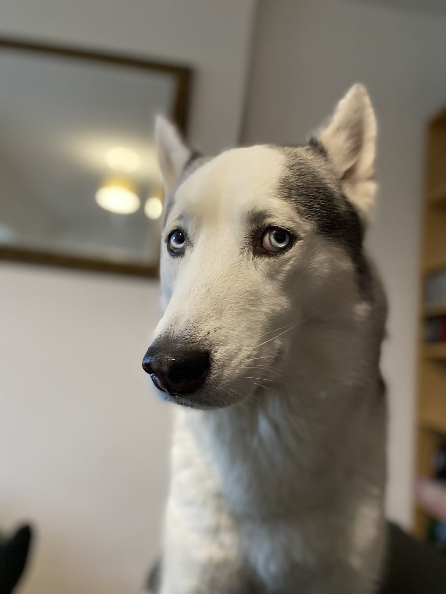 Told my dog @AnnaKendrick47 wouldn't like his photo. He said the sad eyes would win her over... #husky #Kamir #dogsoftwitter https://t.co/9zcIurzMvH