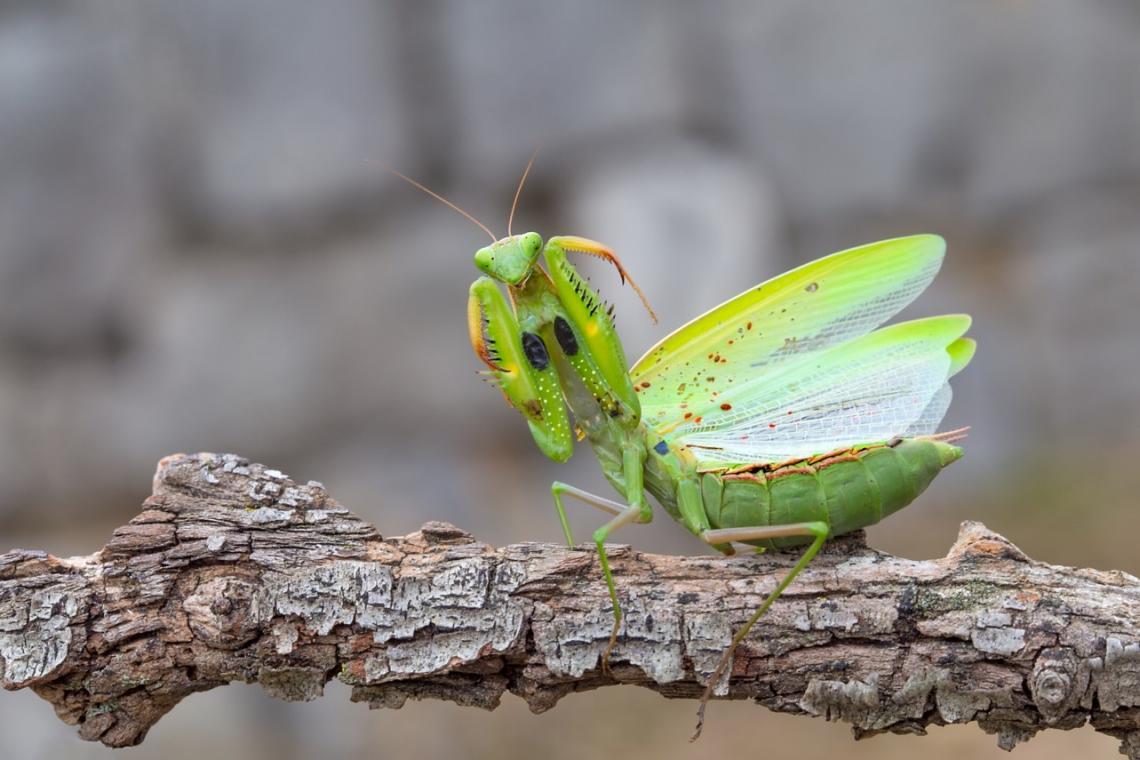MUY Interesante (@muyinteresante) Tweeted: ¿Sabías que la mantis religiosa es increíblemente ágil?  Más curiosidades sobre estos fascinantes insectos, aquí: 👉 https://t.co/xNFsQqGB3c https://t.co/j4AJBdoSJ0 https://t.co/mHzu5XVSrx