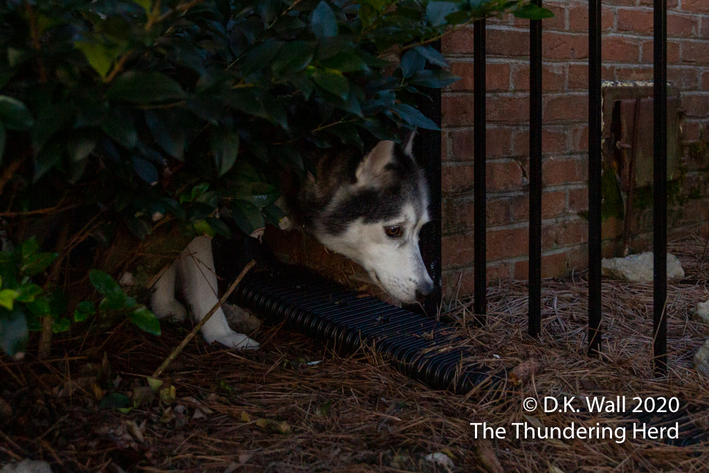 Do I have to go out there?  From Today's Story - Frankie's Outdoor Cave - https://t.co/cMjrQRCPkl  #dog #dogs #dogsofinstagram #siberian #sibe #siberianhusky #husky #huskies #huskylove https://t.co/f0UXfAzHT2