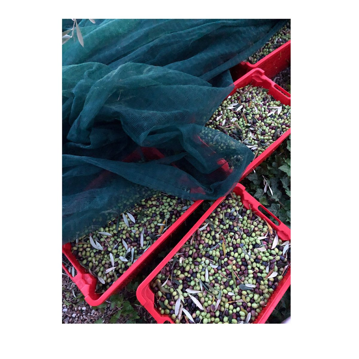 Raccogliamo le olive che guardano il mare #harvesting #raccolto2020  #earlyharvest #raccoltoprecoce #settimino #extravirginoliveoil #extravergine #taggiasca #liguria #rivieraligurediponente #rivieradeifiori #crop #cool #mood #moodoftheday #passion #inspiration @galateofriends https://t.co/2A4yBJmOW6