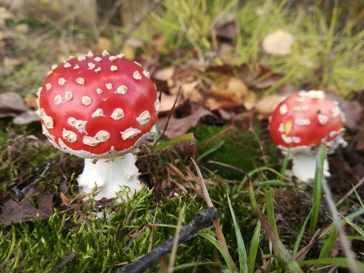 We just love walking in the woods and searching for #mushrooms   Amanita muscaria  #Czechia https://t.co/SU8v3zTZ7j