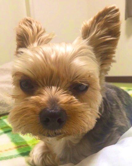 のんびりヨーキーのバロンくん!めっきりと寒くなってきた今日この頃ですが…がんばヨーキー✨アメブロを投稿したワン‼️🐶💕『ぬくぬく♡したいね』#犬好きさんとつながりたい#犬好な人と繋がりたい#ヨークシャーテリア🔻アメブロはこちら↓🐶🐾
