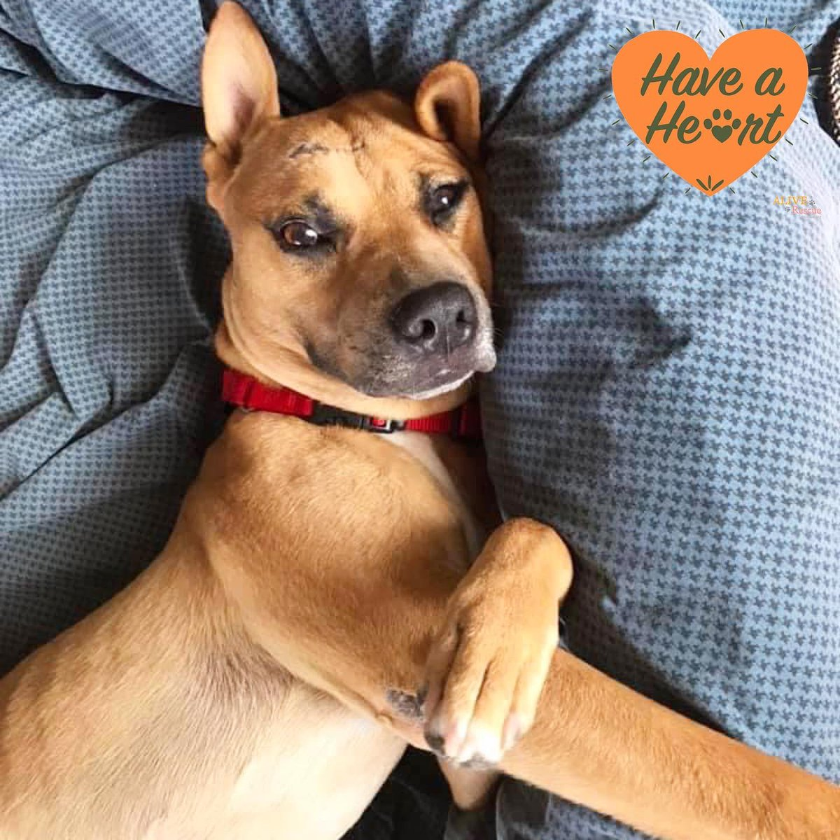 Will you join Beaker for a snuggle? Beaker is a sweet guy who came to us with evidence of previous trauma and a scar across his head, but whatever happened doesn't hinder him from being super loving.   Apply to adopt or donate to his heart worm treatment: https://t.co/he1Cu06f6I https://t.co/2CtWRxrK2P