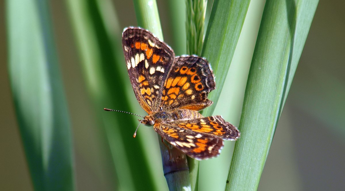 Phaon Crescent I don't see near as many of these as I do the pearl crescents.  So nice to have this one pose for me.   Phaon Crescent (Phyciodes phaon) https://t.co/jB2QwRlVf5 #WhiteRockLake #pollinators #butterfly #NaturePhotography #insects #bugs #polliantor #naturephoto https://t.co/pK6MhTkDVp